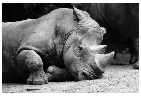 rhino-102479_1280